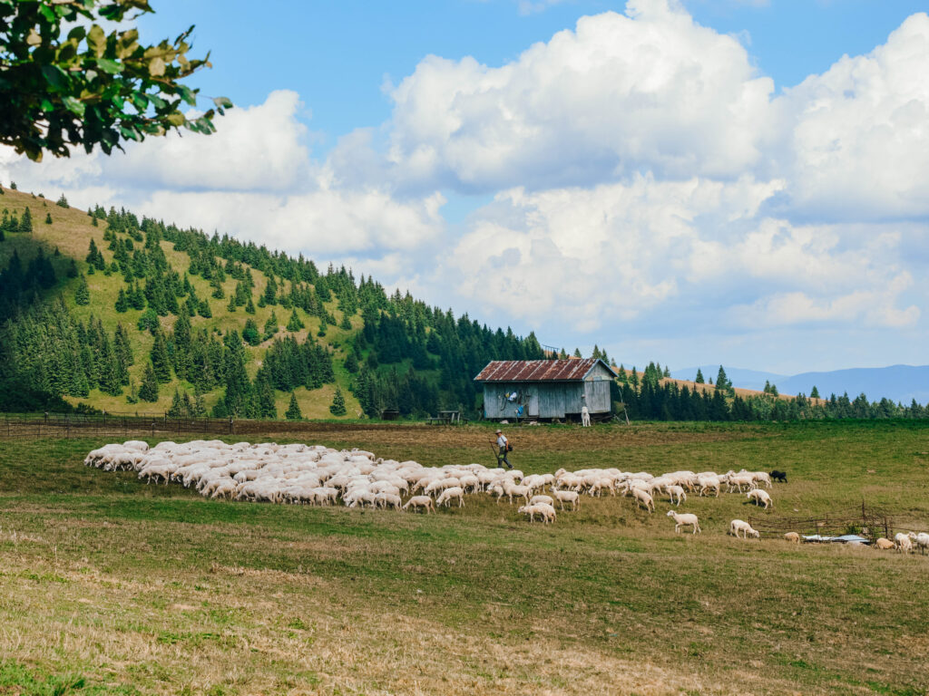 owce na Wielkiej Fatrze